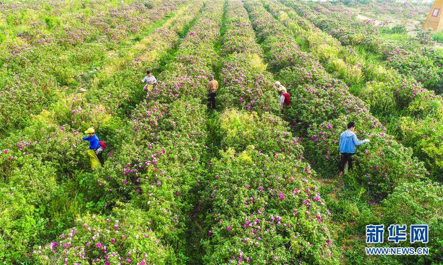 (经济)(2)河北枣强:玫瑰花开致富路