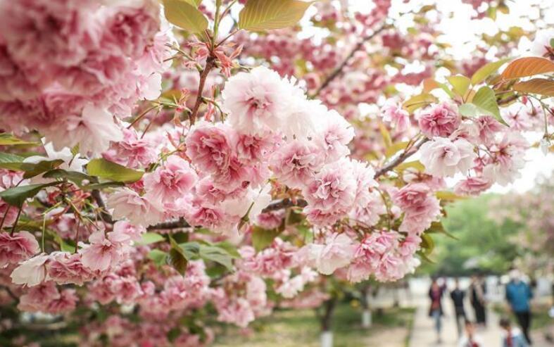 樱花美景引游人