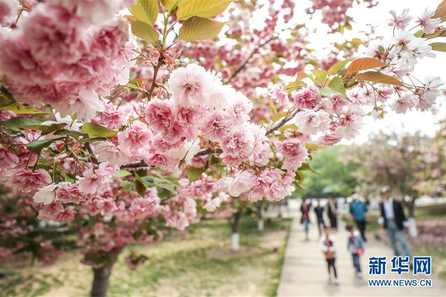 (社会)(2)樱花美景引游人