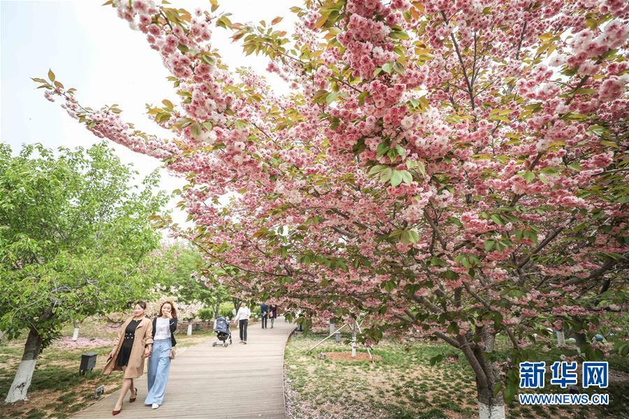 (社会)(4)樱花美景引游人