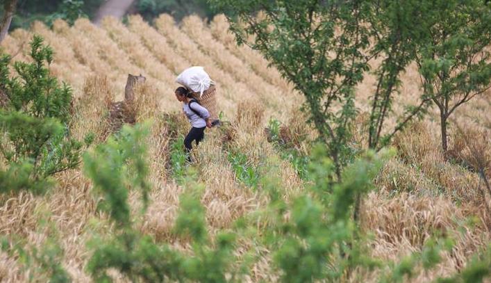 贵州大方:山区小麦获丰收
