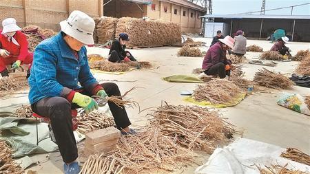"""岐伯故里""""致富经"""" ——庆阳庆城县大力发展中药材产业见闻"""