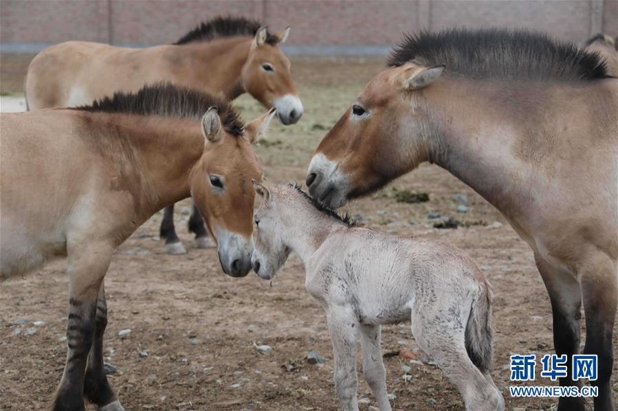 (图文互动)(1)普氏野马进入繁殖高峰期 进入5月有4匹马驹出生