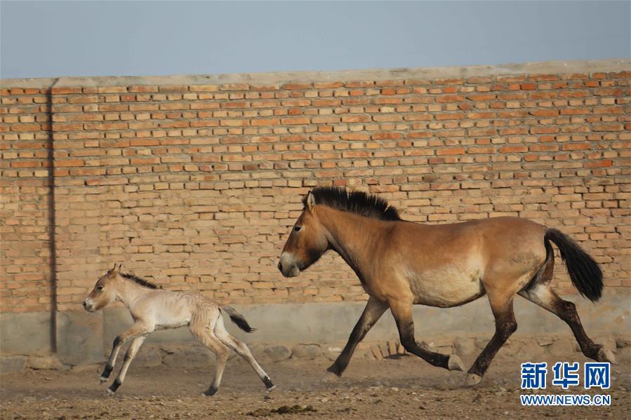 (图文互动)(2)普氏野马进入繁殖高峰期 进入5月有4匹马驹出生