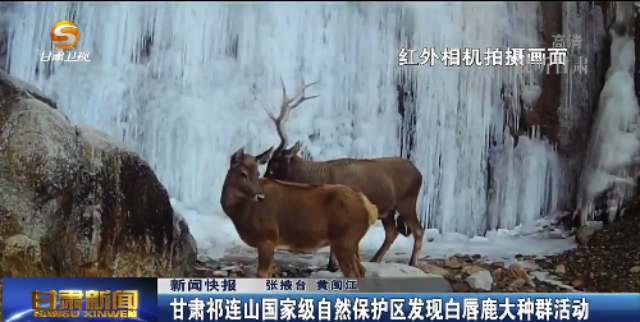 甘肃祁连山国家级自然保护区发现白唇鹿大种群活动