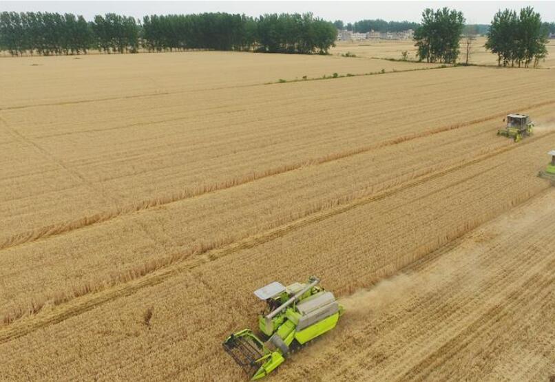 安徽阜阳:喜收小麦