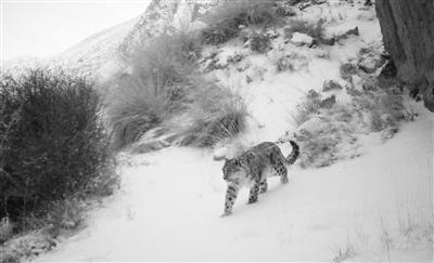 安西极旱荒漠国家级自然保护区首现雪豹影踪(图)