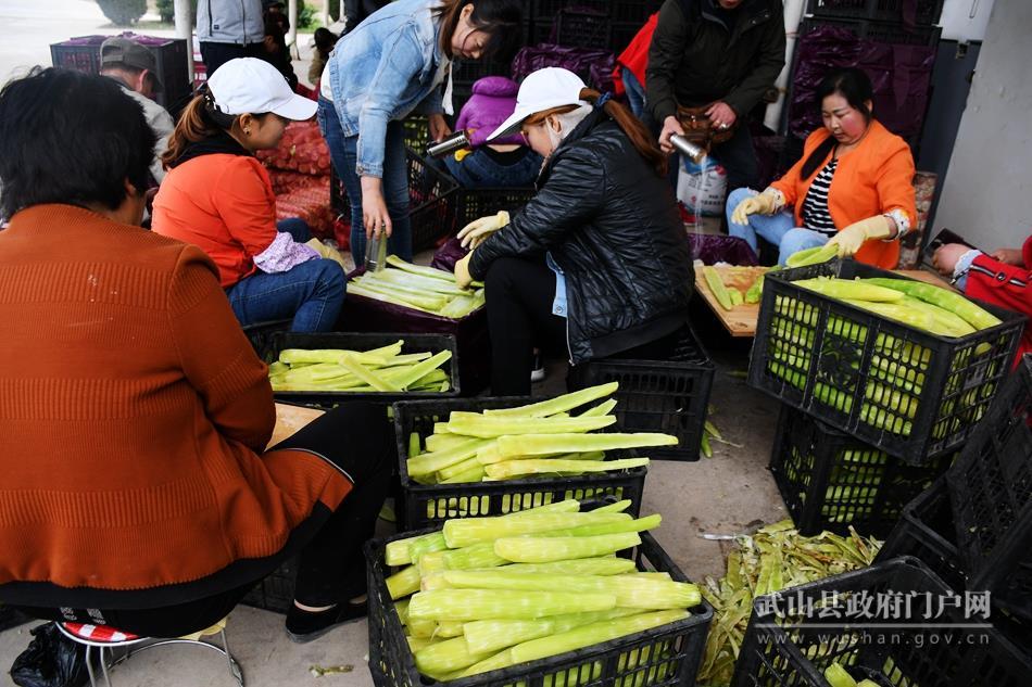武山莴笋实现原产地初加工 产业链条不断延长