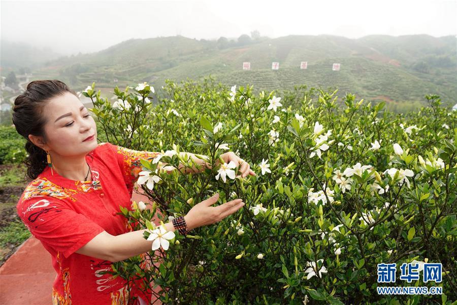 (环境)(1)栀子花开 香满贯岭