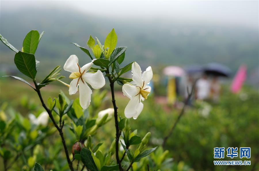 (环境)(3)栀子花开 香满贯岭