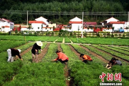 图为甘肃徽县当地苗农打理苗木。(资料图) 张承荣 摄