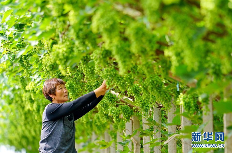 (社会)(4)河北唐山:葡萄种植助推乡村振兴