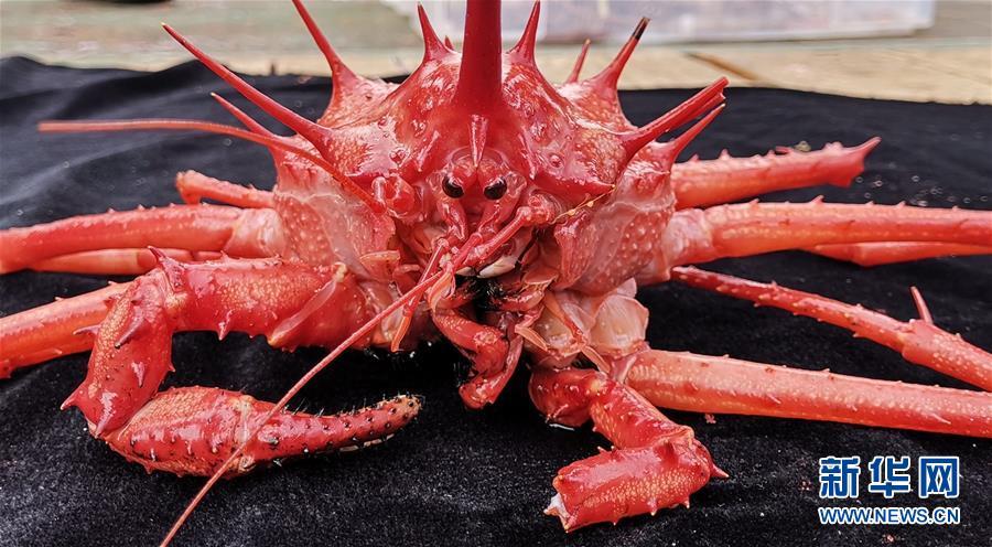 """(科技)(3)""""发现""""号在西太平洋海山采集到深海蟹"""