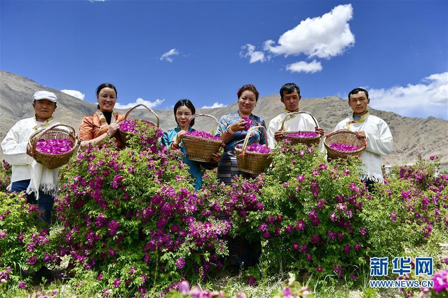 (环境)(1)高原玫瑰芬芳四溢迎宾客