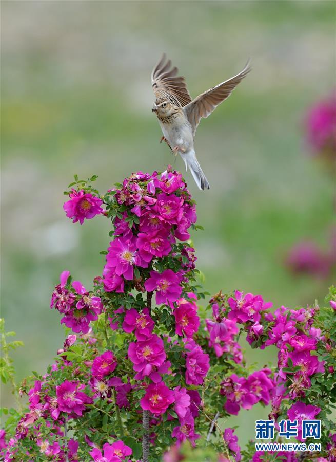 (环境)(2)高原玫瑰芬芳四溢迎宾客