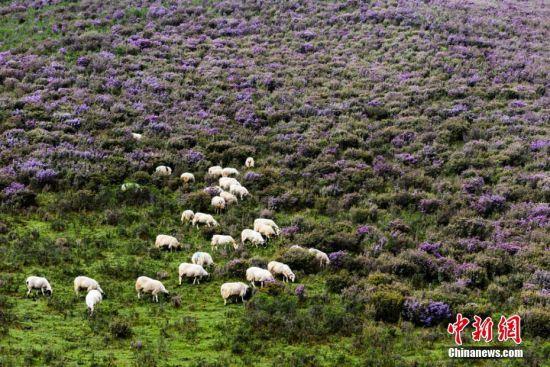 """图为羊群在花海中""""畅游""""。王守辉 摄"""