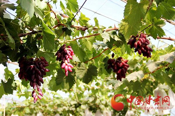 临泽新华镇:有机果蔬放异彩 绿色品牌增效益