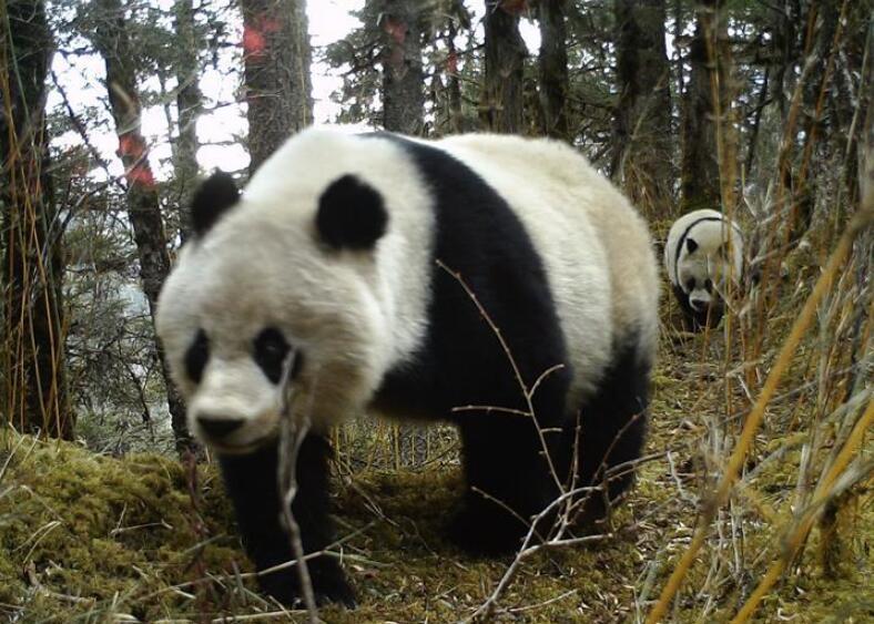 四川黄龙自然保护区红外相机拍摄到大熊猫带崽活动