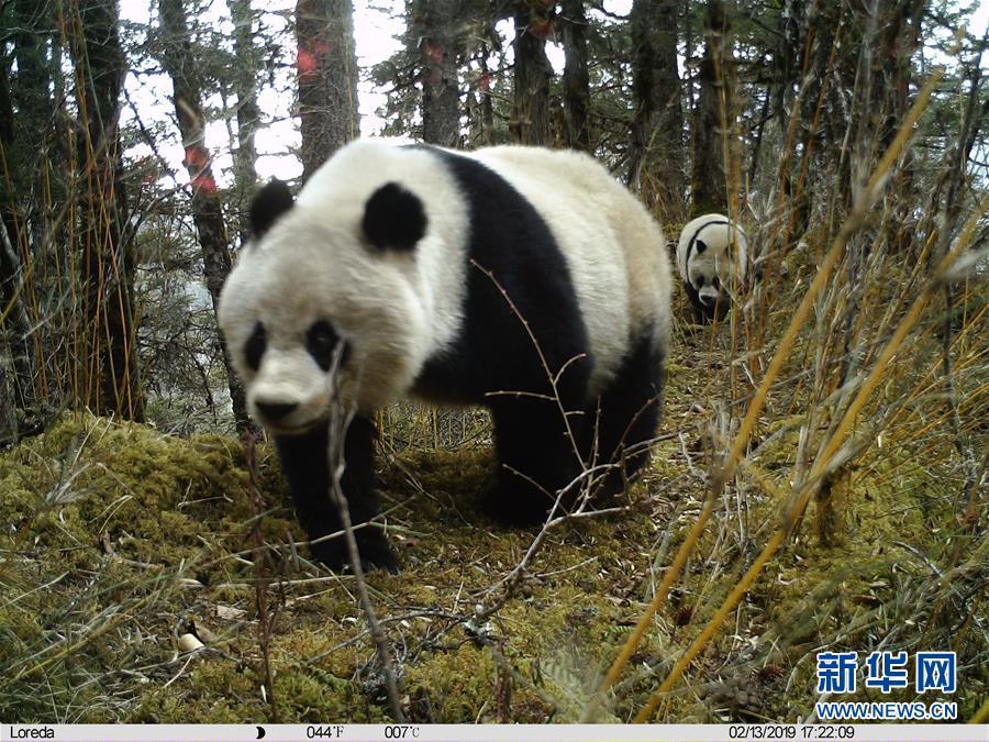 (图文互动)(2)四川黄龙自然保护区红外相机拍摄到大熊猫带崽活动