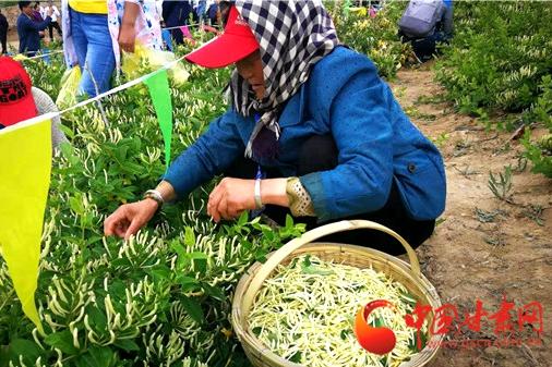 甘肃通渭13个乡镇群众参加金银花节采摘大赛 冠军1小时摘10斤