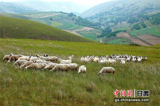 """甘肃环县羊羔""""吃草药、勤运动"""" 传统饲养保肉质鲜美"""