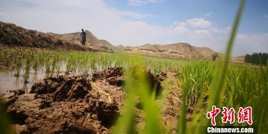 """图为""""绿波荡漾""""的水稻田。 魏建军 摄"""