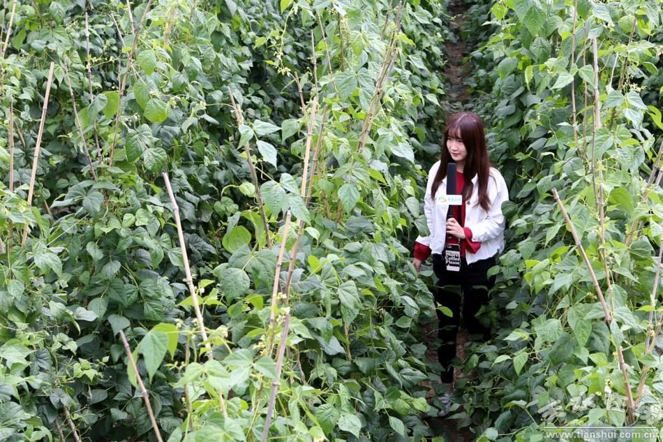 天水在线摄影报道:武山豆角是这样走俏市场的