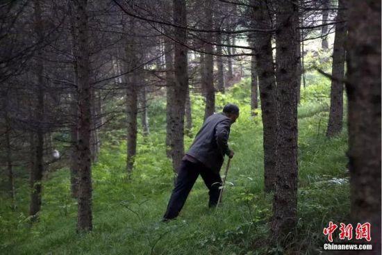 图为田永平拄着拐杖艰难地在斜坡林地中行走。冉创昌 摄