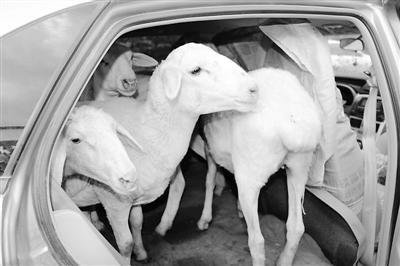 """交警查车吃了一惊 轿车后排竟""""坐""""了七只活羊"""