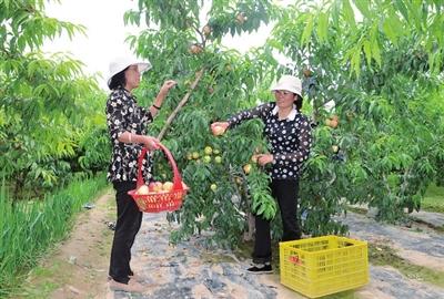临夏州水漫滩:油桃丰收农家乐