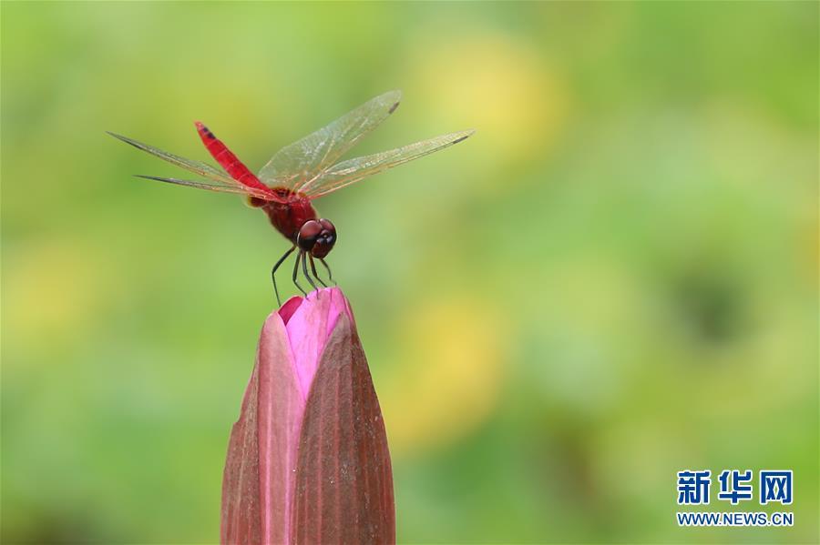 (视·觉)小荷才露尖尖角 早有蜻蜓立上头