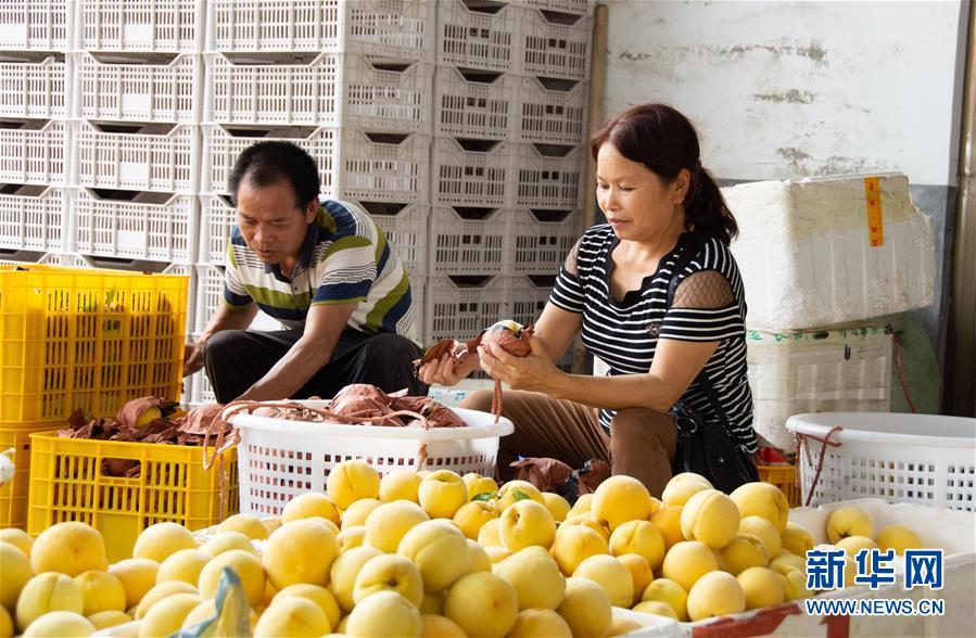 (经济)(2)湖南炎陵:摘黄桃 促增收