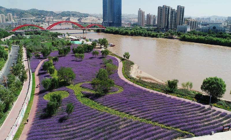 """【飞阅甘肃】紫色魅惑!黄河向花海深情""""表白"""":你今天太美太美"""