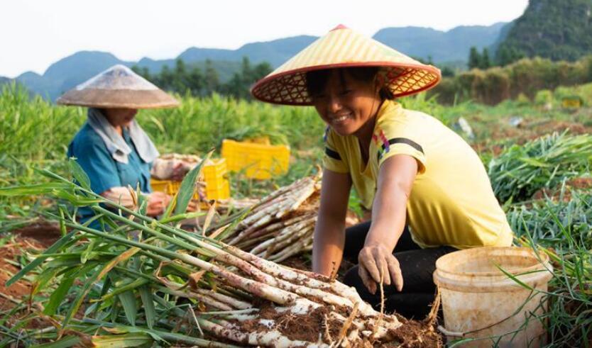 湖南江永:挖香姜 促增收