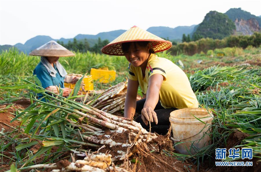 (经济)(1)湖南江永:挖香姜 促增收