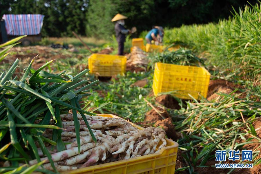 (经济)(2)湖南江永:挖香姜 促增收