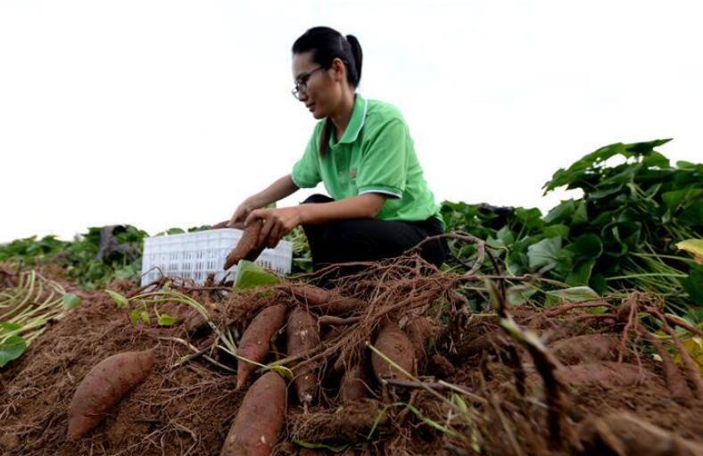 小红薯撑起致富大产业