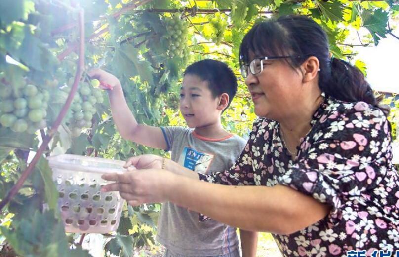 """""""京南吐鲁番""""的葡萄熟了"""