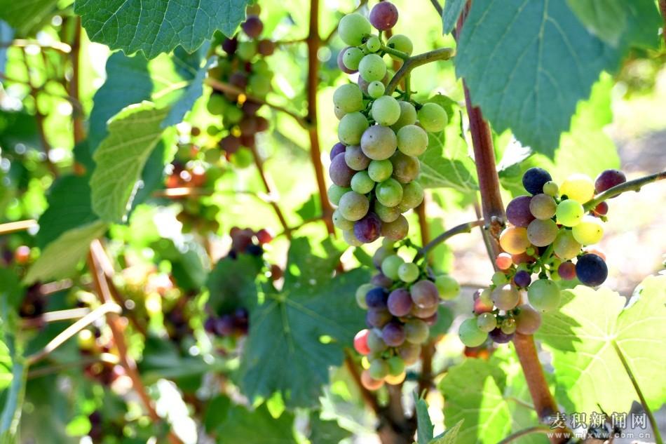 """麦积区邀请专家""""把脉""""葡萄产业发展"""