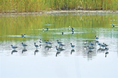 张掖黑河湿地 数百只反嘴鹬悠闲觅食
