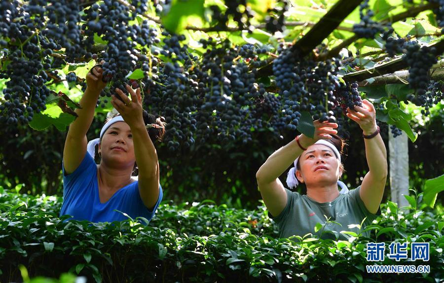 (社会)(3)广西三江:葡萄种植助侗寨脱贫