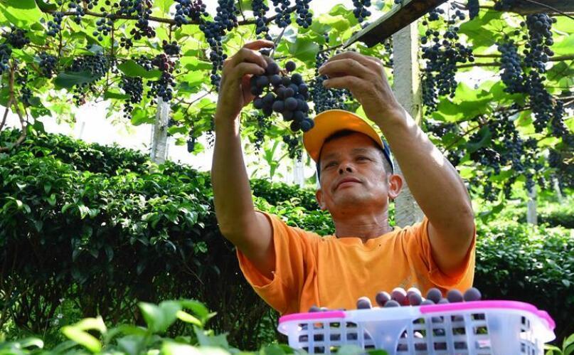广西三江:葡萄种植助侗寨脱贫