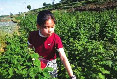 兰州榆中杨家营村:小树莓撬动脱贫大产业