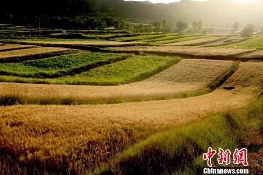图为夕阳里金黄的小麦等待收割。