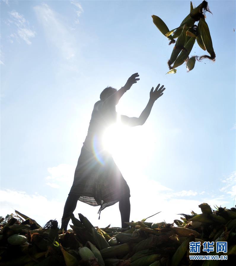 (新华视界)(2)收获玉米