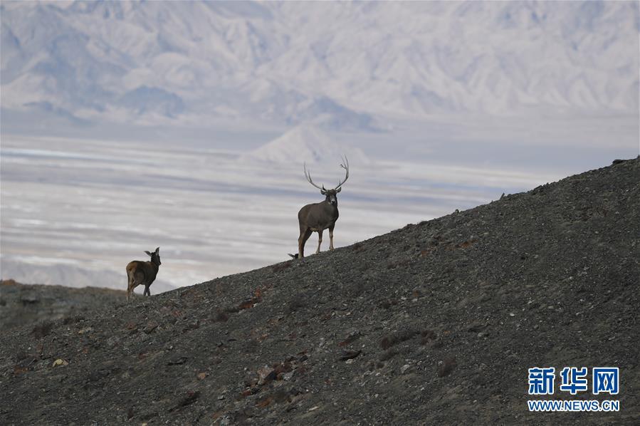 监测显示:甘肃盐池湾保护区十年新增濒危动物白唇鹿190头