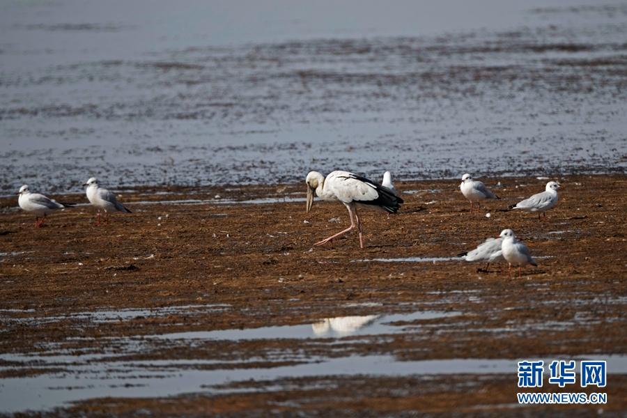 甘肃张掖黑河湿地发现珍稀鸟类钳嘴鹳