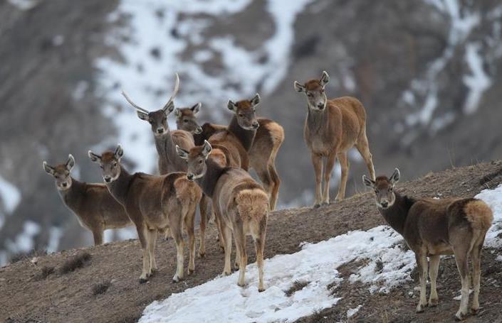 甘肃盐池湾保护区新增白唇鹿190头