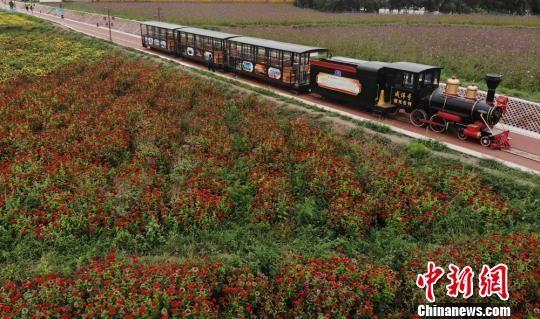 甘肃山丹如意花海盛开:戈壁添色 小火车穿越其中