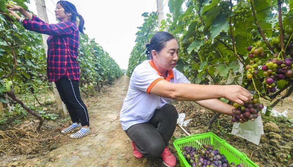葡萄村的葡萄熟了